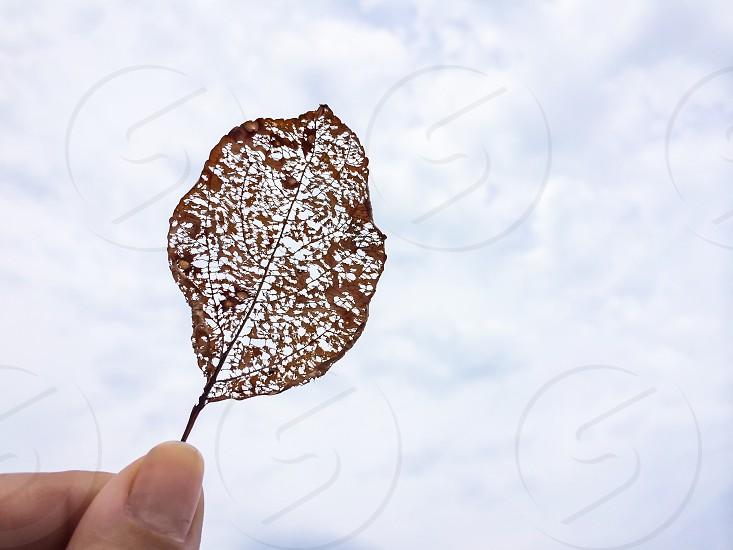 brown see through leaf photo