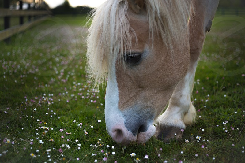 adult horse with white mane eating grass photo