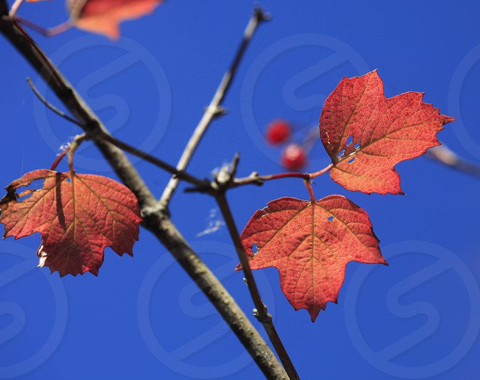 red autumn leaves on blue sky background photo
