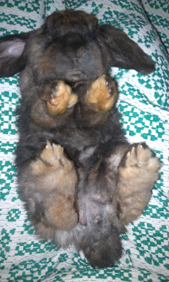 black short coated medium breed rabbit photo