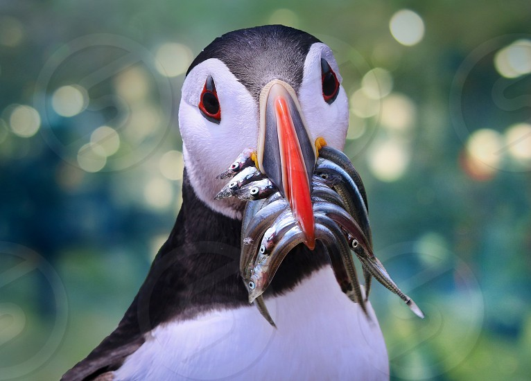 Atlantic Puffins photo
