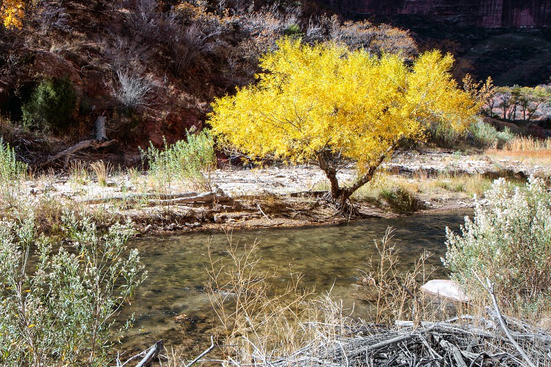 Cottonwood Tree on the Banks of the Virgin River photo