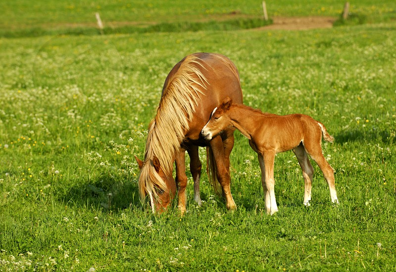Hanoverian mare and a foal in a paddock photo