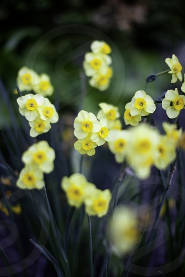 spring daffodil flower pretty yellow Easter life nature garden love beauty peace growth photo