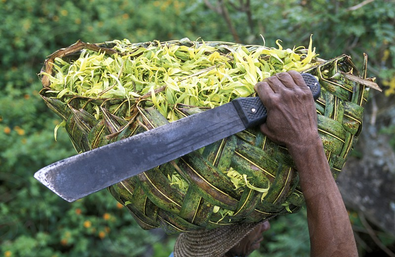 a men with ylang ylang flowers on the Island of Anjouan on the Comoros Ilands in the Indian Ocean in Africa.    photo