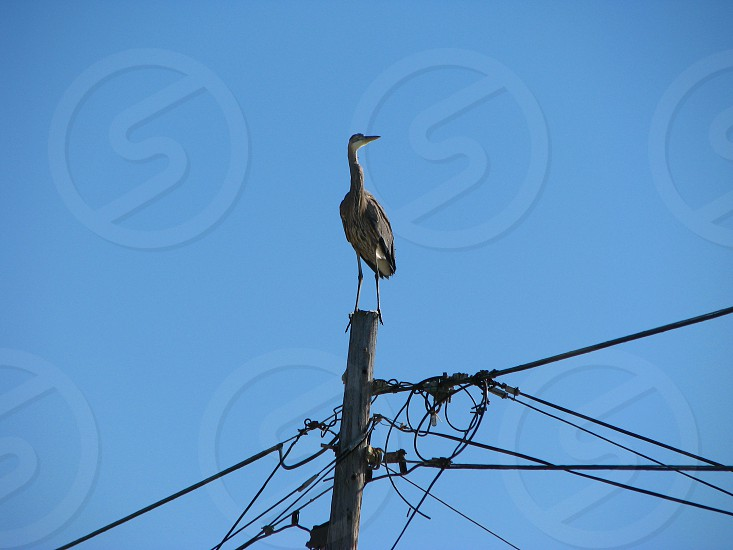Great blue heron on pole photo