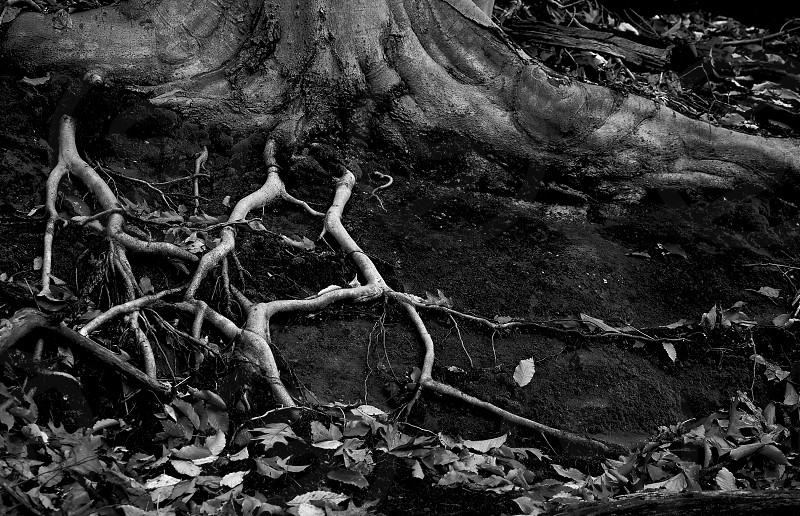 Tree roots. Monochrome.  photo