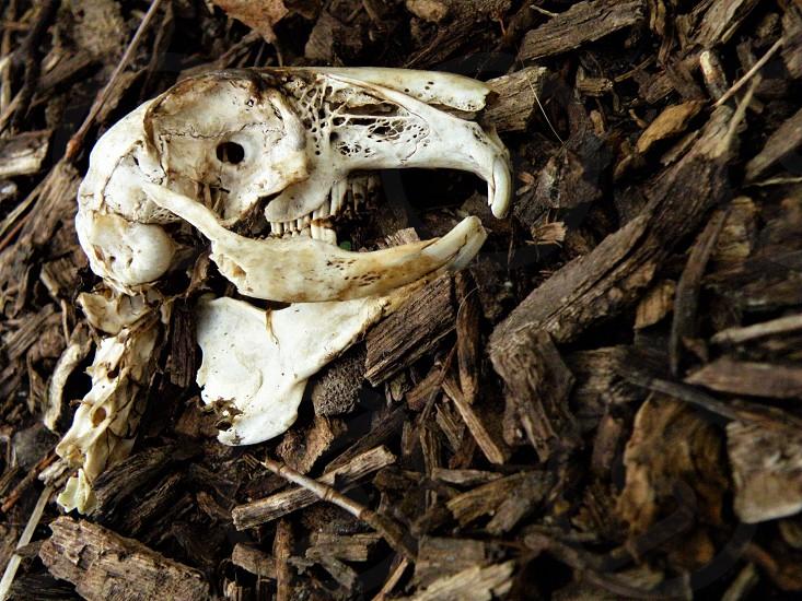 Creepy Halloween muskrat skull and bones!       photo