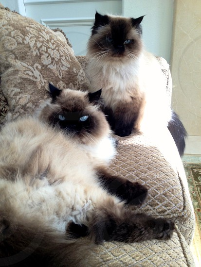 Cats Himalayan furry pets laying lounging seal point blue eyes beautiful family couch  photo