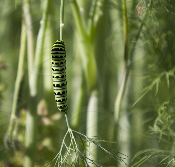 Monarch Butterfly caterpillar in dill patch. green on green photo