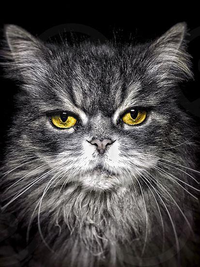 Cat black white yellow eyes photo