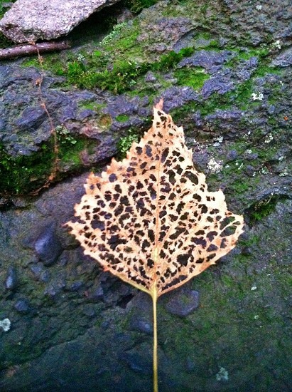 dried leaf on gray rock with moss photo