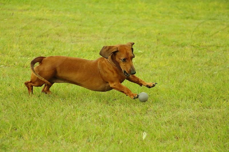 dachshund playing ball photo