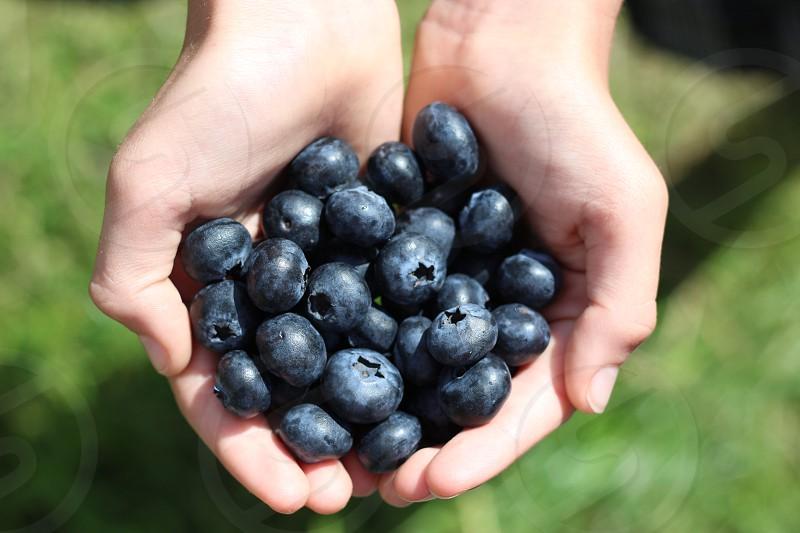 handful of blueberries farm pick fresh hands photo
