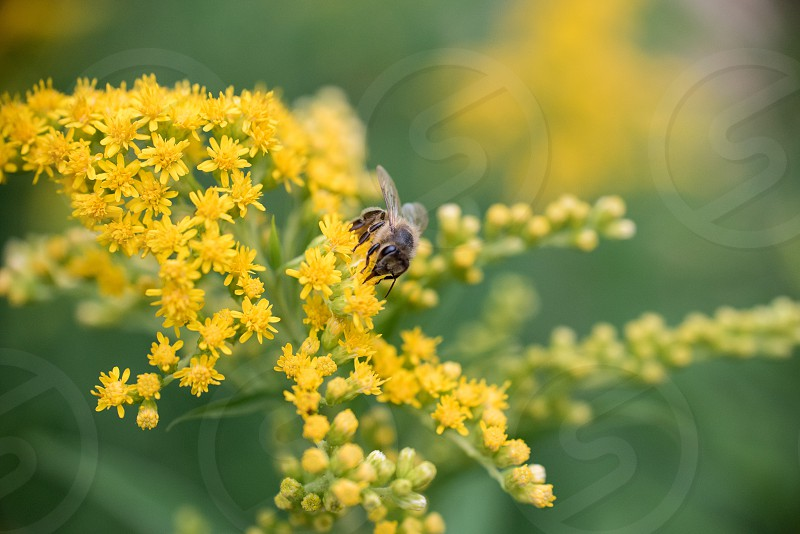 Closeup of a bee on a yellow flower. photo