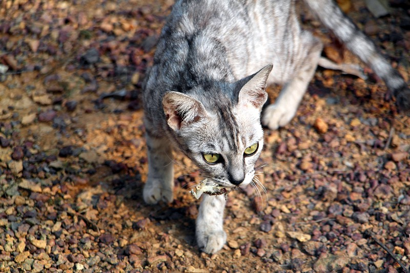 silver tabby cat walking on brown lamnd photo