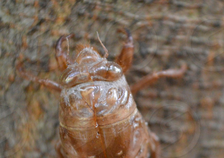 brown cicada larvae photo