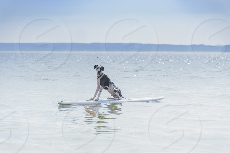 Adorable  harlequin great dane dog sitting on surf board waiting for waves so he can hang 20. photo