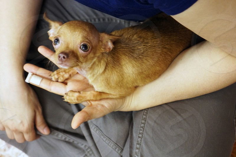 Chihuahua cuddling on a lap photo