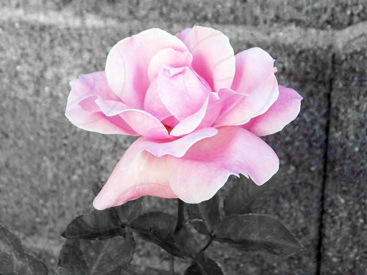 pink rose flower photography photo