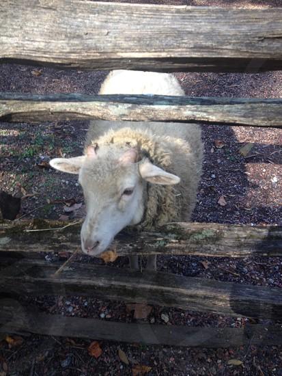 sheep farm animals photo
