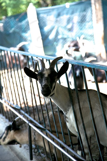 goat farm animals photo