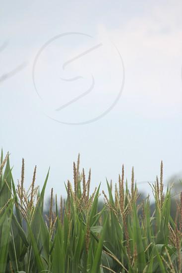 corn field green Michigan summer crop grow harvest   photo