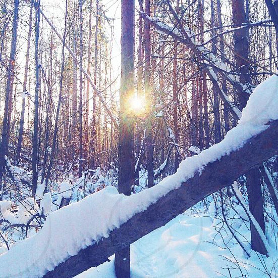 sun winter snow Siberia cold forest photo