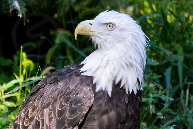 head shot bald eagle eye stare beak bird national symbol USA United States eagle predator photo