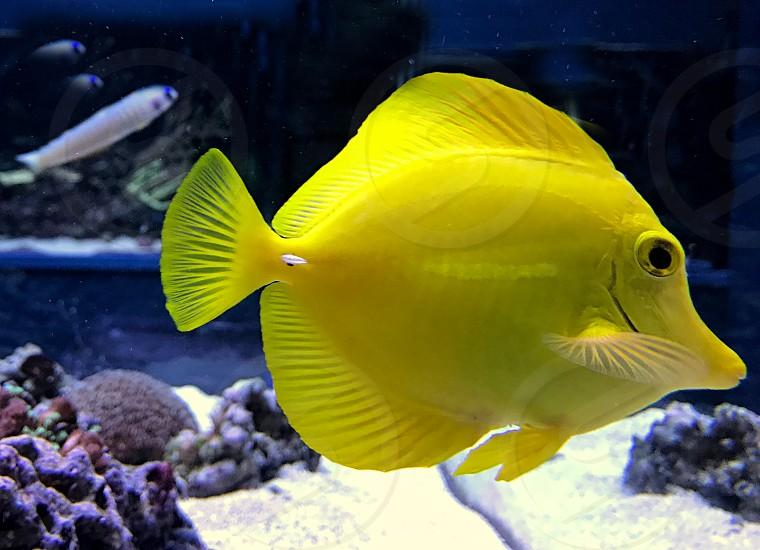 Small bright yellow tropical fish swimming photo