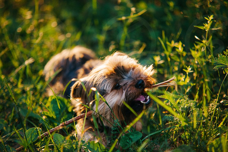 Playful small dog yorkshire-terrier training outdoors in summer. photo