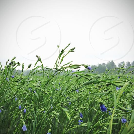 blue bell flower photo
