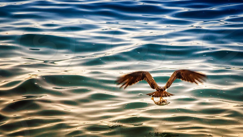 Rule of thirds osprey fishing bird of prey photo