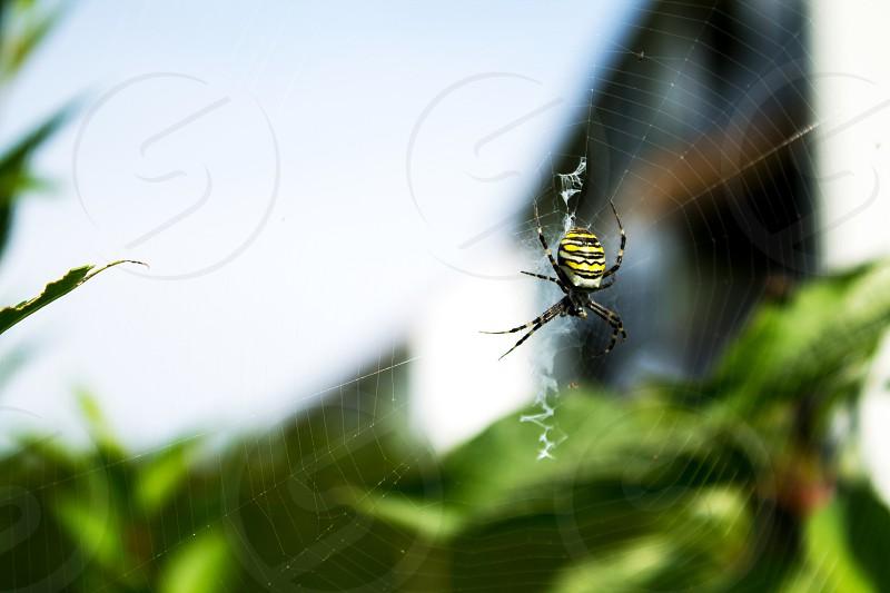Wasp spider in our garden photo