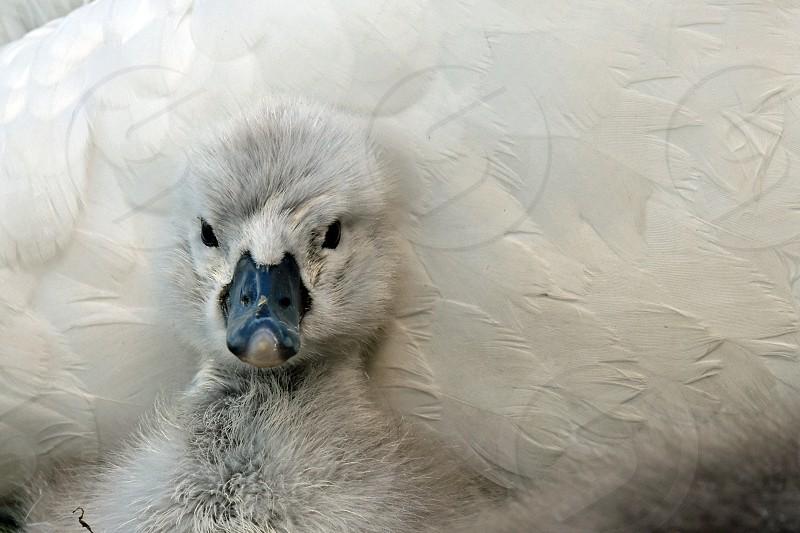 newborns swans photo