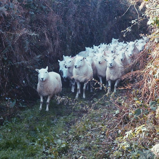 sheep walking on grass  photo