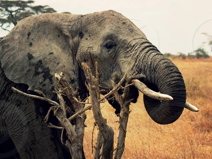 Elephant in the wild photo