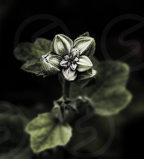 Flower flowers toned nature art closeup shape shapes shaped background wallpaper amazing leaf leafs green growth seeds seed  photo