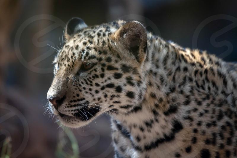 Jaguar at Loro Parque Zoo photo
