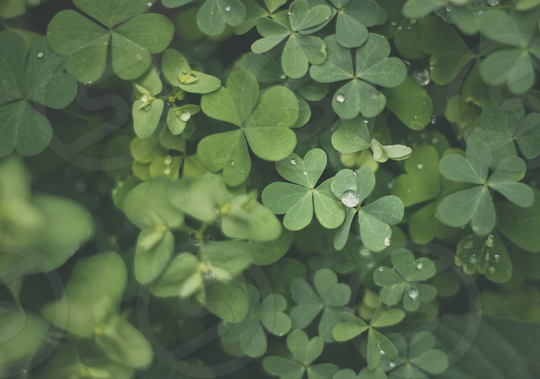 Carpet of green 3 leafed clover in a garden after the rain with water droplets. photo