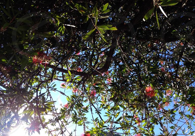 sun through the bottle brush tree photo