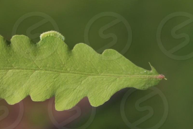 green caterpillar on green leaf macro photography photo