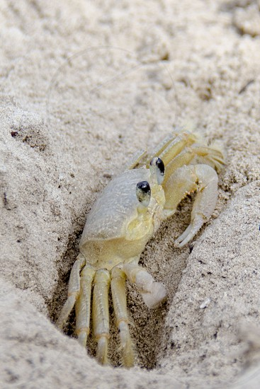 Sand Crab in Cuba photo