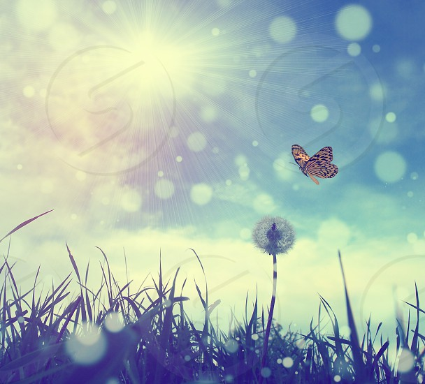 Dandelion and butterfly photo