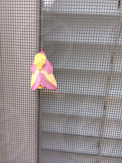 Rosy Maple Moth ( pink and yellow colors ) on a window mesh  photo