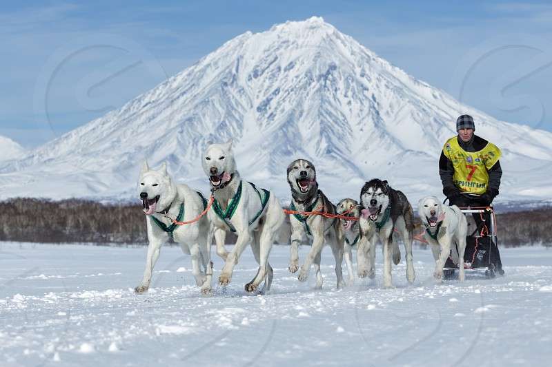 KAMCHATKA PENINSULA RUSSIA - FEB 25 2017: Running sled dog team Alaskan husky musher Alexey Sitnikov on background Koryak Volcano. Kamchatka Sled Dog Race Beringia Russian Cup of Sled Dog Race (snow disciplines) photo