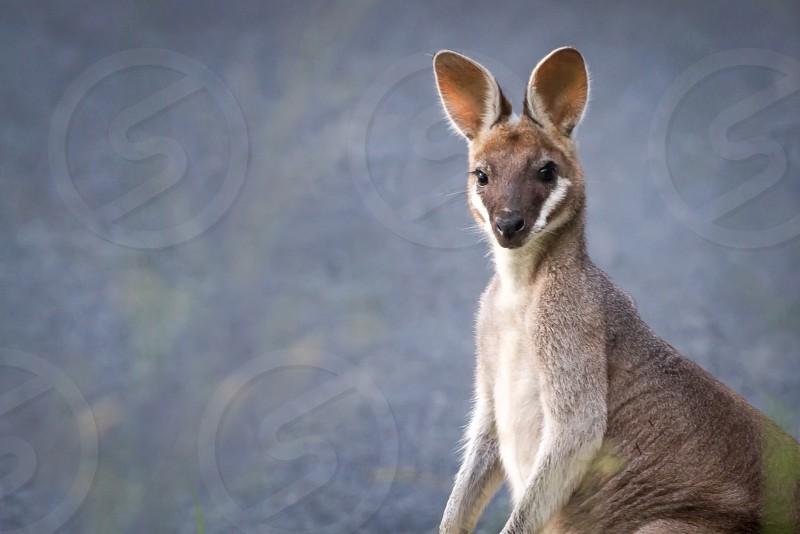 Australia wallaby kangaroo nature wildlife cute  photo