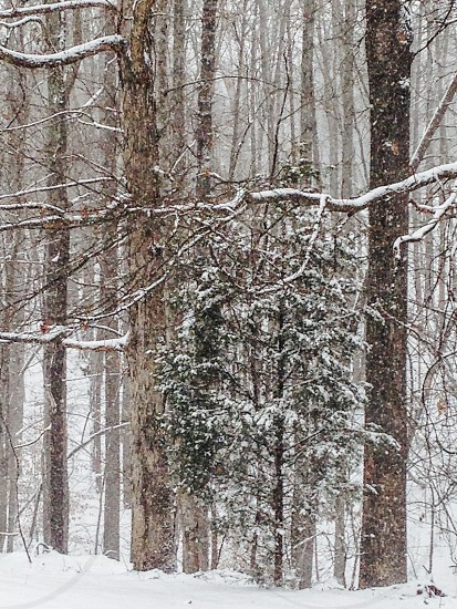 Winter snow in pines photo