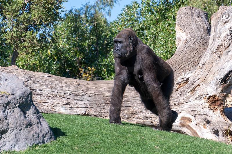 VALENCIA SPAIN - FEBRUARY 26 : Gorilla at the Bioparc in Valencia Spain on February 26 2019 photo