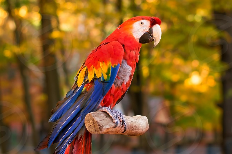 Red Blue and yellow parrot in fall sitting on tree branch on a bright summer day. photo